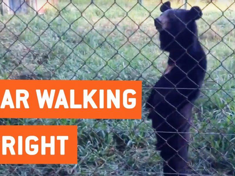 Bear Walks Standing Upright   Hello Humans