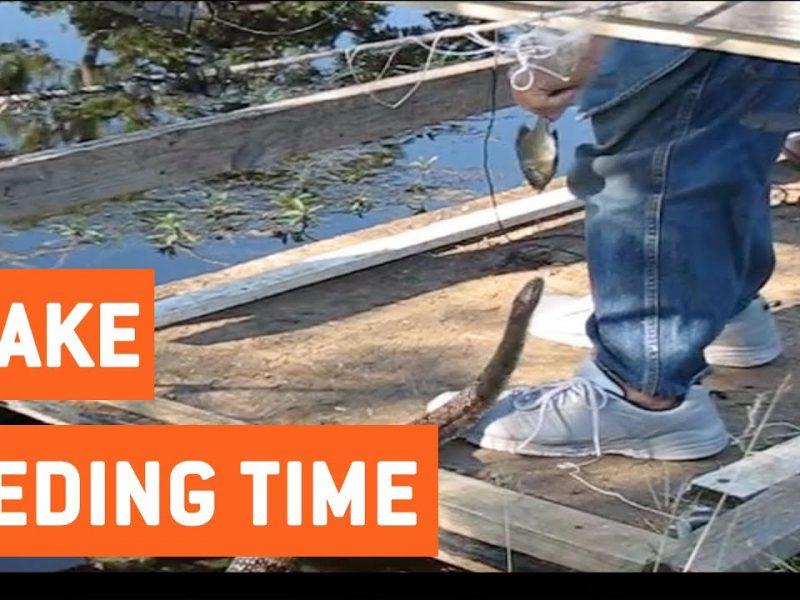 Man Hand Feeds Water Snake   Feeding Time