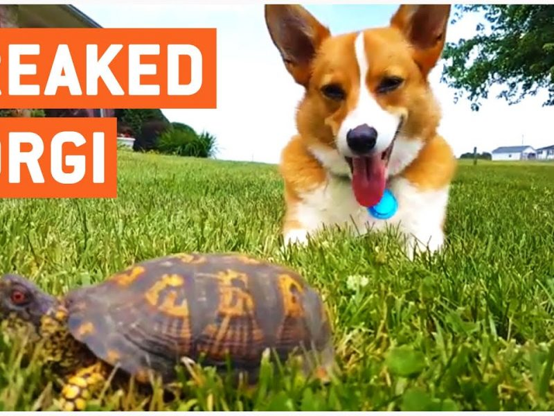 Turbo the Corgi Discovers Rock Is Actually a Turtle