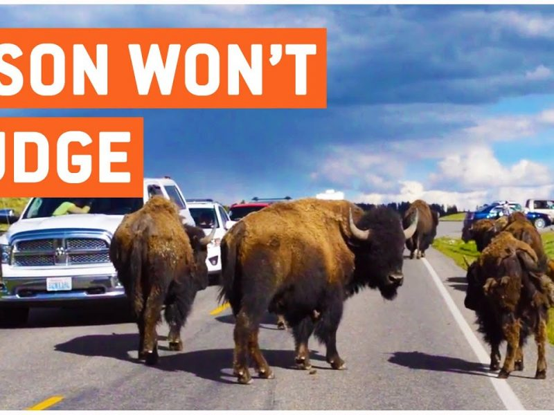 Herd of Bison Block Road | Pain in the Yak