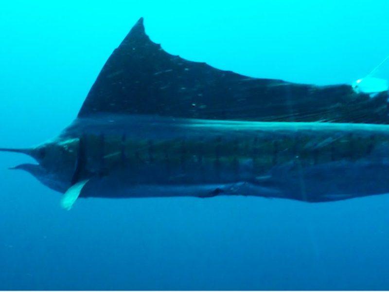 Sailfish ATTACKS Diver | Underwater Frenzy