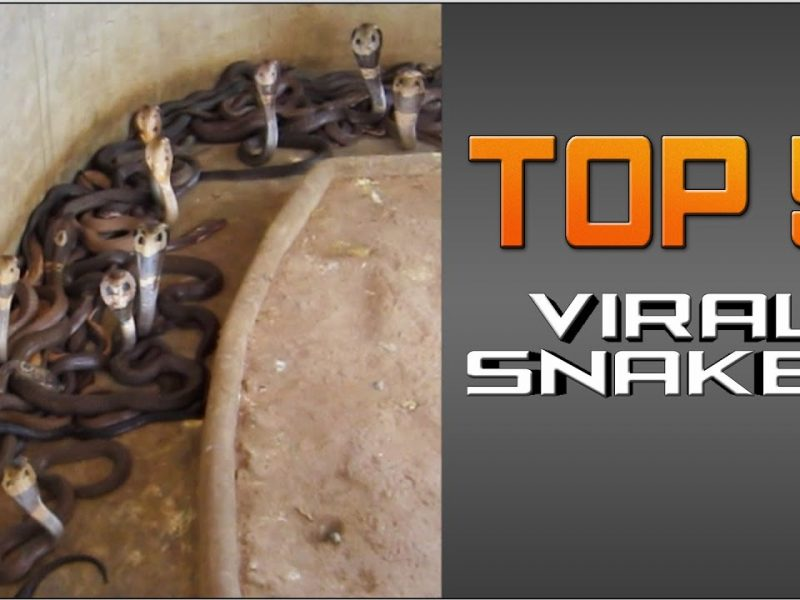 #Top5 Viral Snakes | JukinVideo Top Five
