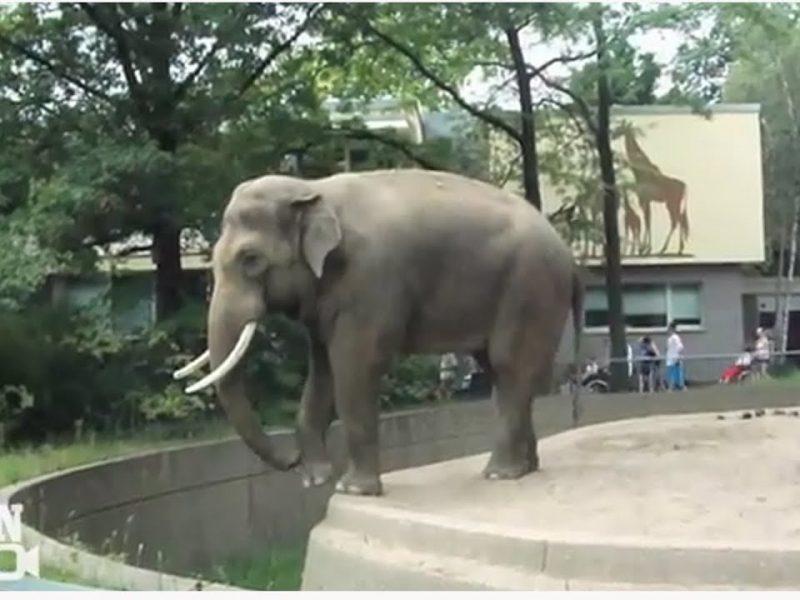 Elephant Flings Poop at Man