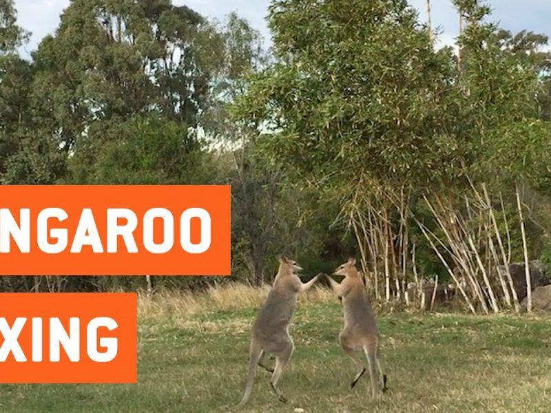 Wild Kangaroos Fighting | Boxing Roos