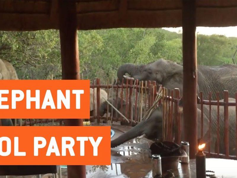 Elephants Smash Family's Pool Party